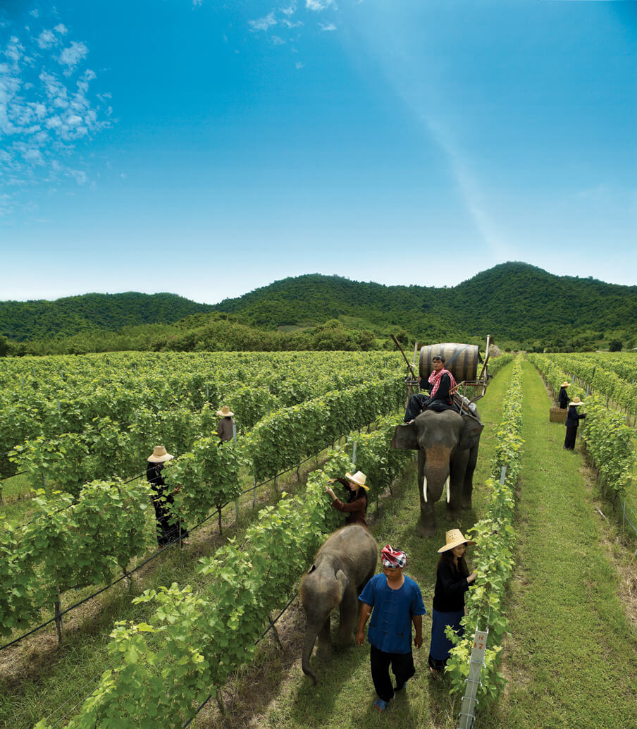 Elephants in The Vineyard